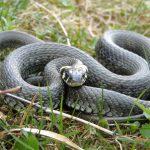 Études d'impact : faut-il utiliser des plaques pour détecter les reptiles ?