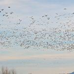 """Oiseaux : les """"couloirs"""" de migration existent-ils ?"""