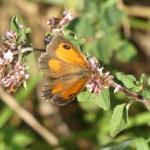 Liste rouge des papillons de Bretagne : une nouvelle méthode au banc d'essai