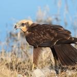 Oiseaux nicheurs de Bretagne : un nouvel outil d'évaluation