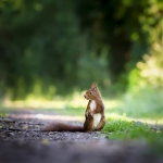 Une liste rouge des mammifères de Bretagne d'après l'indice FAR